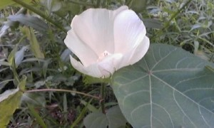 わたの花20140802